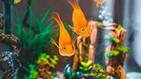 two-Goldfish-in-tank